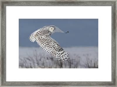 Snowy In Action Framed Print
