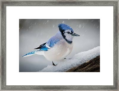 Snowy Jay Framed Print