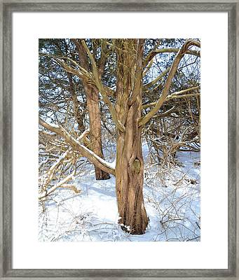 Snowy Knotted Trees Framed Print by Toby McGuire