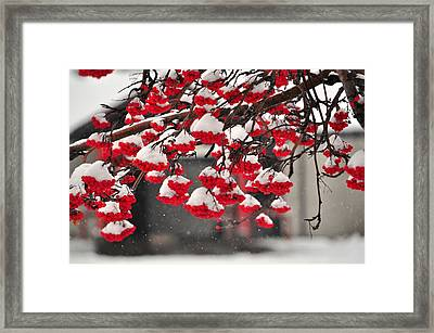 Framed Print featuring the photograph Snowy Mountain Ash Berries by Fran Riley