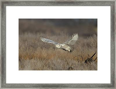 Snowy On The Wing Framed Print by Daniel Behm