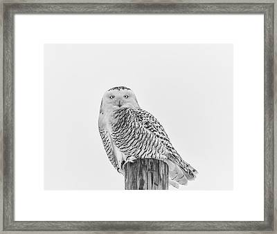 Snowy Owl 2014 1 Black And White Framed Print by Thomas Young