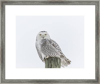 Snowy Owl 2014 1 Framed Print by Thomas Young