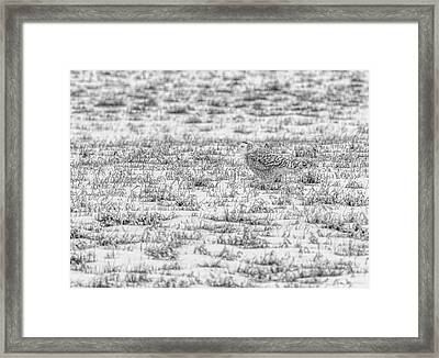 Snowy Owl 2014 2 Black And White Framed Print by Thomas Young