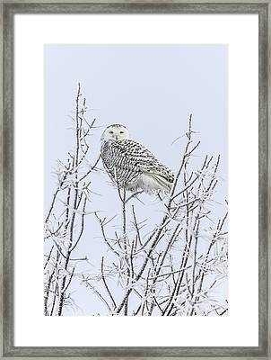 Snowy Owl 2014 4 Framed Print by Thomas Young