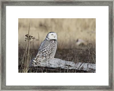 Snowy Owl Framed Print by Angie Vogel