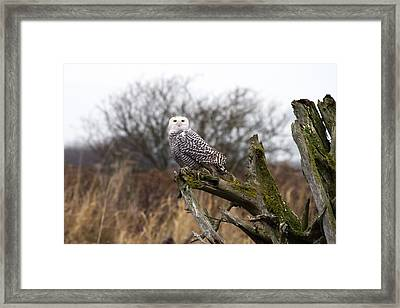 Snowy Owl At Boundary Bay  Framed Print by Pierre Leclerc Photography