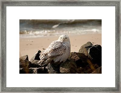 Snowy Owl At Forsythe Framed Print