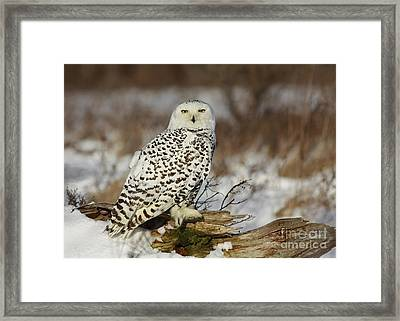 Snowy Owl At Sunset Framed Print by Inspired Nature Photography Fine Art Photography