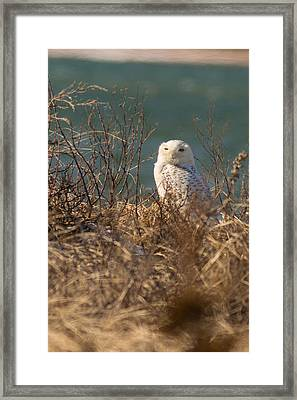 Snowy Owl At The Beach Framed Print by Allan Morrison