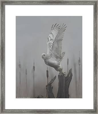 Snowy Owl Blastoff Framed Print