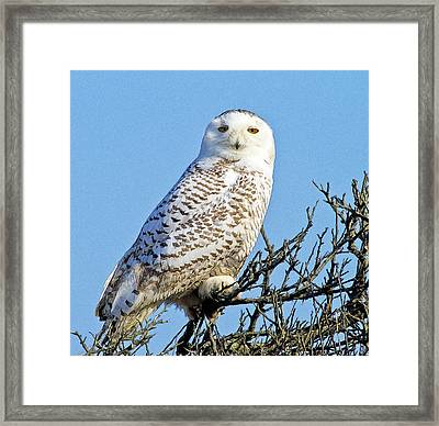 Framed Print featuring the photograph Snowy Owl by Constantine Gregory