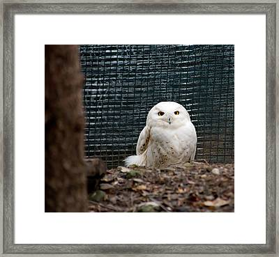 Framed Print featuring the photograph Snowy Owl by Courtney Webster