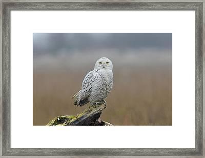 Snowy Owl  Framed Print by Daniel Behm
