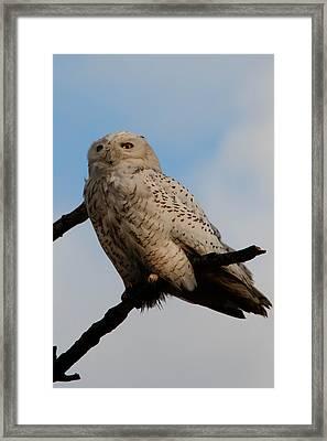 Snowy Owl Framed Print by David Yack