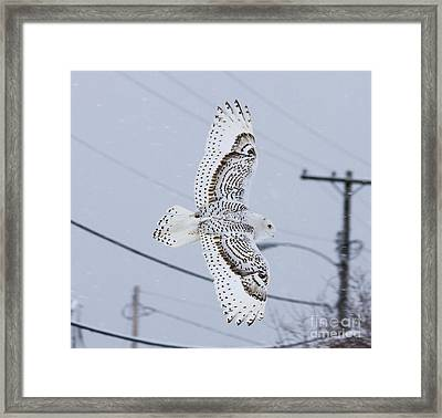 Snowy Owl Glides Into Town Framed Print by Shane Borelli