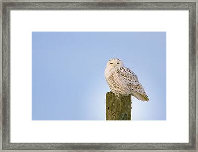 Framed Print featuring the photograph Snowy Owl - Harfang Des Neiges - Bubo Scandiacus by Nature and Wildlife Photography