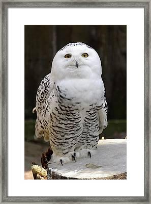 Snowy Owl Framed Print by Heiti Paves