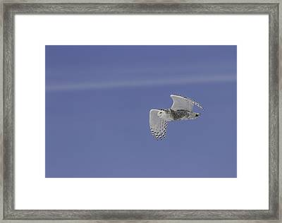 Snowy Owl In Flight 1 Framed Print by Thomas Young