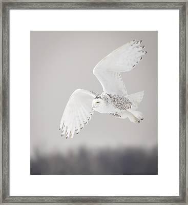 Snowy Owl In Flight 4 Framed Print