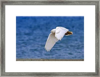 Snowy Owl In Flight Framed Print by Aaron Smith