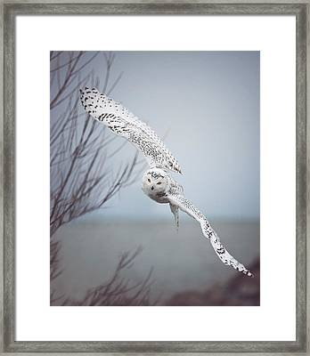 Snowy Owl In Flight Framed Print by Carrie Ann Grippo-Pike