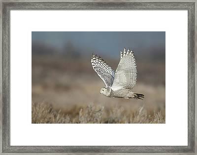 Snowy Owl In Flight Framed Print by Daniel Behm