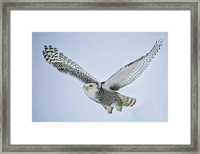 Snowy Owl In Flight Framed Print by Everet Regal