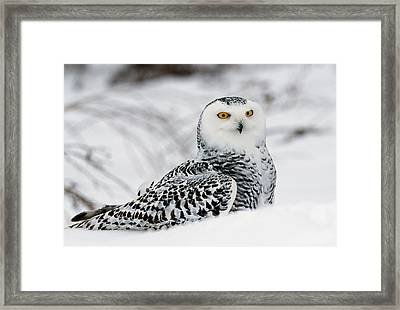 Snowy Owl In Snow, Michigan, Usa Framed Print by Panoramic Images