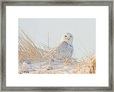 Snowy Owl In The Snow Covered Dunes Framed Print by John Vose