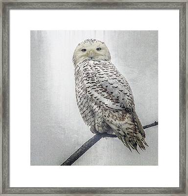 Framed Print featuring the photograph Snowy Owl In The Rain by Constantine Gregory