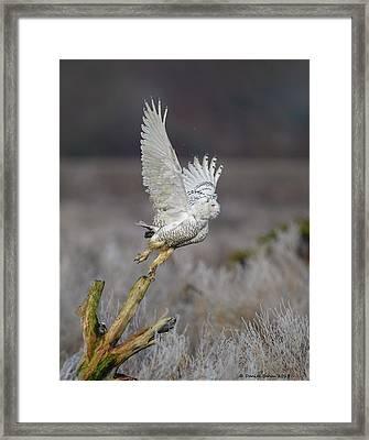 Snowy Owl Liftoff Framed Print by Daniel Behm