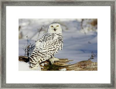Snowy Owl On A Winter Hunt Framed Print by Inspired Nature Photography Fine Art Photography