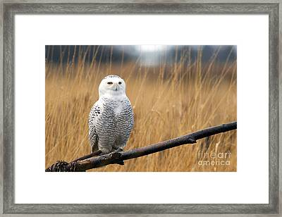 Snowy Owl On Branch Framed Print