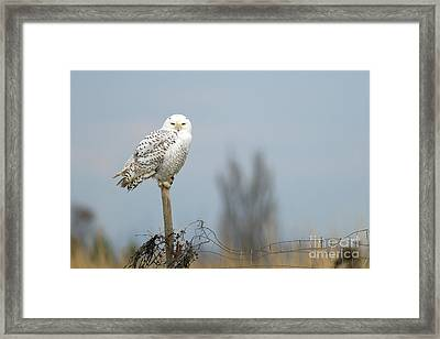 Snowy Owl On Fence Post 2 Framed Print