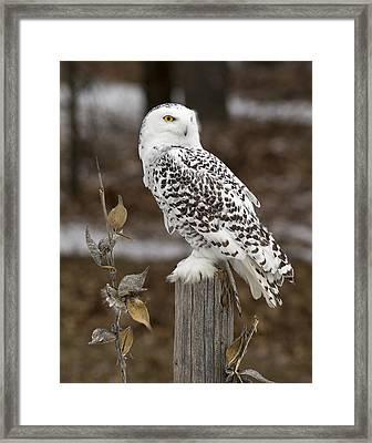 Snowy Owl Posts Framed Print