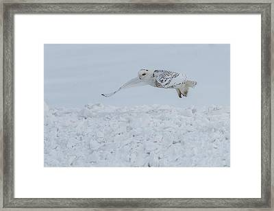 Framed Print featuring the photograph Snowy Owl #1/3 by Patti Deters