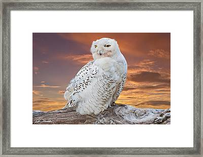 Snowy Owl Perched At Sunset Framed Print