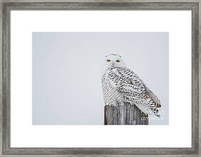 Snowy Owl Perfection Framed Print
