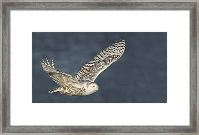 Snowy Owl Pictures 1 Framed Print