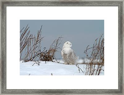 Snowy Owl Pictures 11 Framed Print