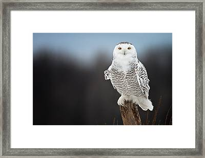 Snowy Owl Pictures 12 Framed Print