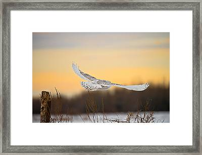 Snowy Owl Pictures 14 Framed Print