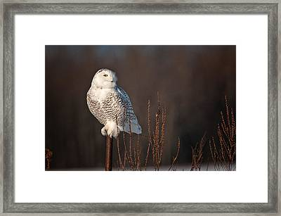 Snowy Owl Pictures 15 Framed Print