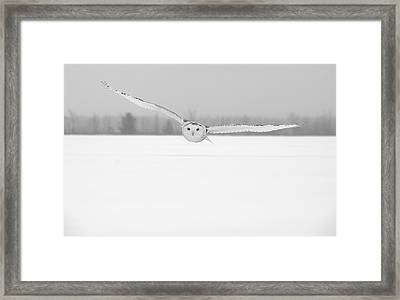 Snowy Owl Pictures 16 Framed Print