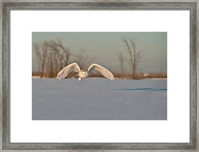 Snowy Owl Pictures 17 Framed Print