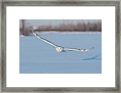 Snowy Owl Pictures 18 Framed Print
