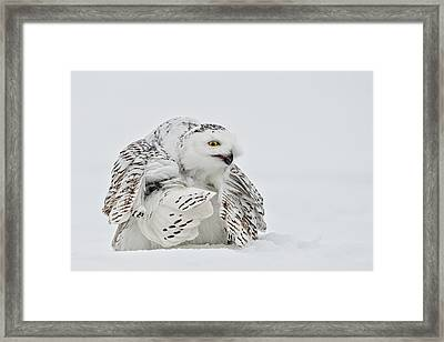 Snowy Owl Pictures 19 Framed Print