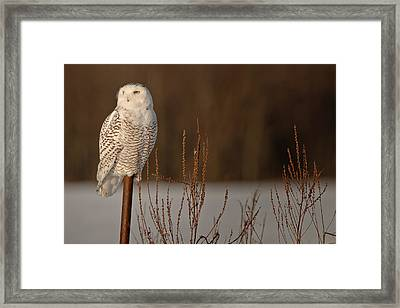 Snowy Owl Pictures 2 Framed Print