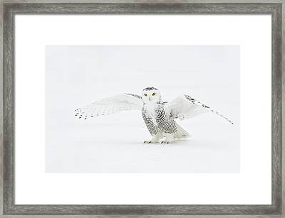 Snowy Owl Pictures 23 Framed Print